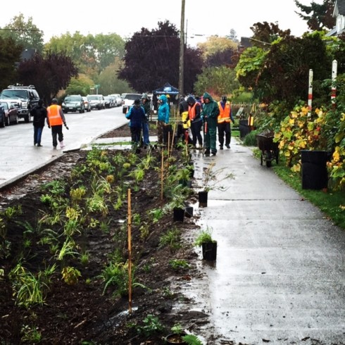 Green streets projects like this one in East Ballard are designed to capture stormwater runoff from the streets thru curb cuts, and allow the water to soak into the native vegetation that has been planted.
